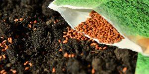La graine de cresson : l'herbe aux nombreuses vertus